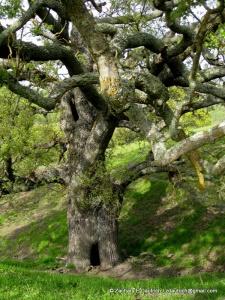 the original keebler elf tree? - valley oak / Diablo Foothills CA