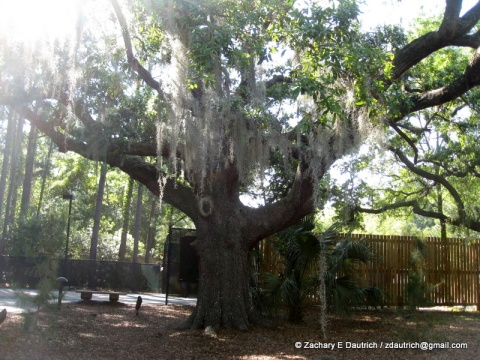 special grandfather live oak tree w moss / coastal SC