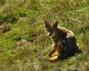suprised coyote / Sonoma Coast CA