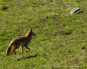 levitating coyote 02 / Sonoma Coast CA