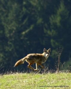 levitating coyote 01 / Sonoma Coast CA