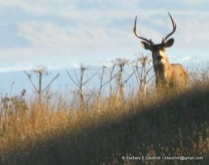 black-tailed deer / Sonoma Coast CA