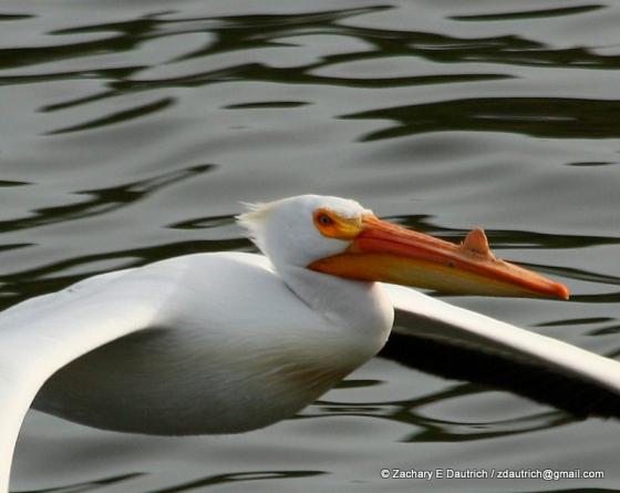 white pelican 06 / Lafayette Reservoir CA