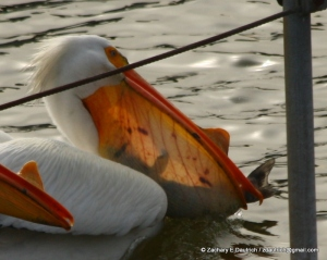 white pelican 03 / Lafayette Reservoir CA