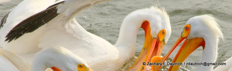 white pelicans 02 / Lafayette Reservoir CA