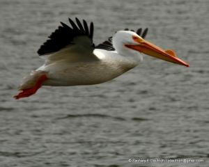 white pelican 01 / Lafayette Reservoir CA