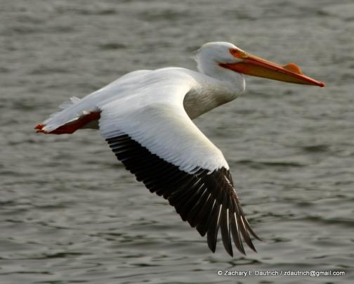 white pelican 05 / Lafayette Reservoir CA