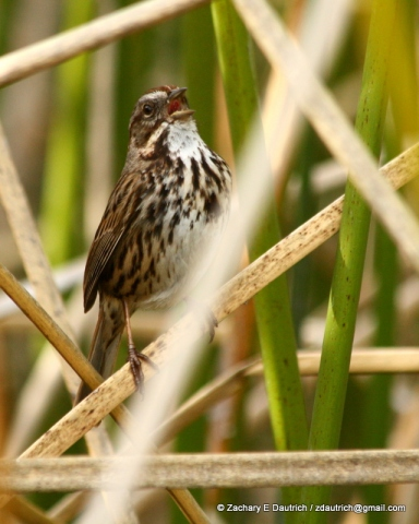 song sparrow singing / Lafayette Reservoir CA