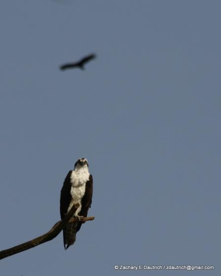osprey and vulture 01 / Lafayette Reservoir CA