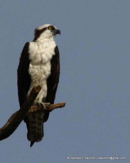osprey 03 / Lafayette Reservoir CA