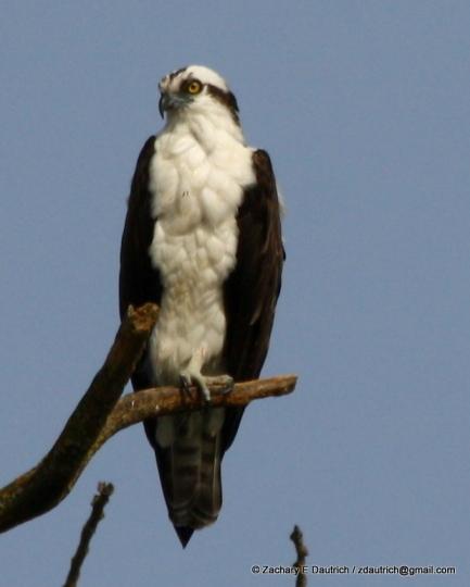 osprey 02 / Lafayette Reservoir CA