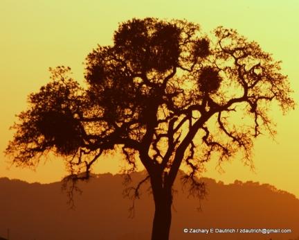 valley oak tree at sunset / Mt Diablo CA