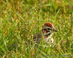 lark sparrow / Diablo Foothills CA