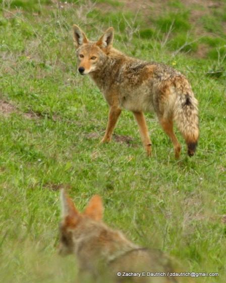 coyotes / Mt Diablo CA