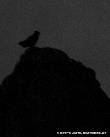 great-horned owl silhouette on cliff-top / Diablo Foothills CA