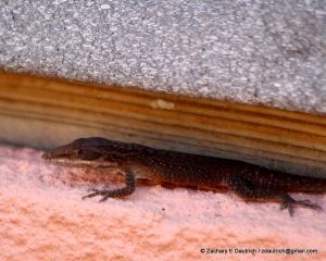 mystery lizard (anole?) / coastal SC