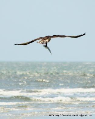 osprey with fish / coastal South Carolina