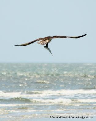 osprey with fish / coastal South Carolina