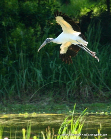 wood stork landing / Pickney Island Wildlife Refuge SC