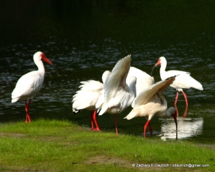 white ibis stand / Pickney Island National Wildlife Refuge SC