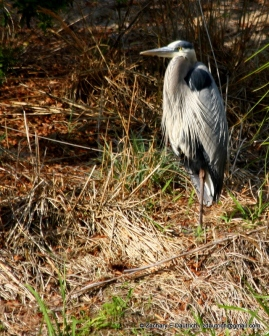 great blue heron / Pickney Island National Wildlife Refuge