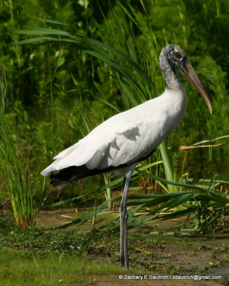 wood stork / Pickney Island Wildlife Refuge SC