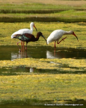 white ibises and white-faced ibis / Pickney Island Wildlife Refuge SC