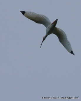 white ibis in flight / Pickney Island National Wildlife Refuge SC