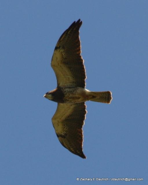 swainson's hawk 01 / Pt Reyes NS CA