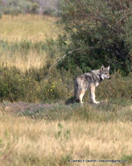 scoping wolf 2 / Grand Teton National Park WY