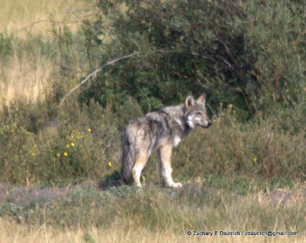 wolf / Grand Teton National Park