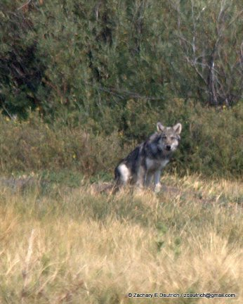 wolf gaze 02 / Grand Teton National Park WY