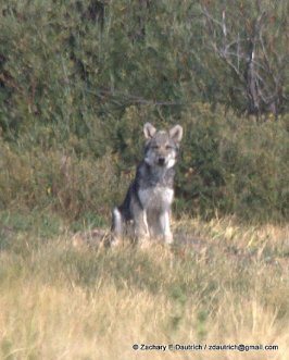 wolf gaze 03 / Grand Teton National Park WY