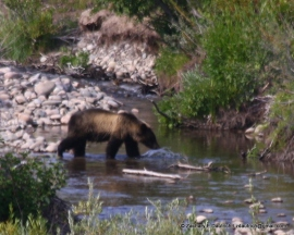 grizzly crossing / Grand Teton National Park WY