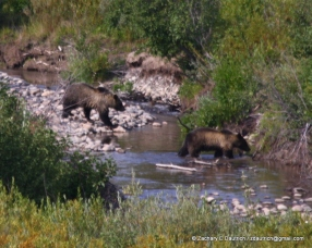 griz and cub / Grand Teton National Park WY