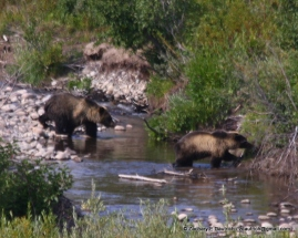 griz and cub 2 / Grand Teton National Park WY
