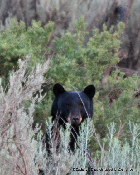 black bear peeper