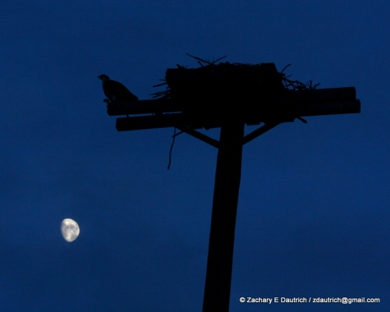 osprey nest and moon