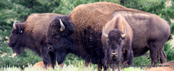 bison / Genesee Park CO
