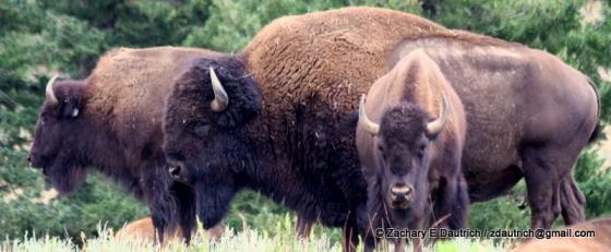 bison / Genesee Park CO