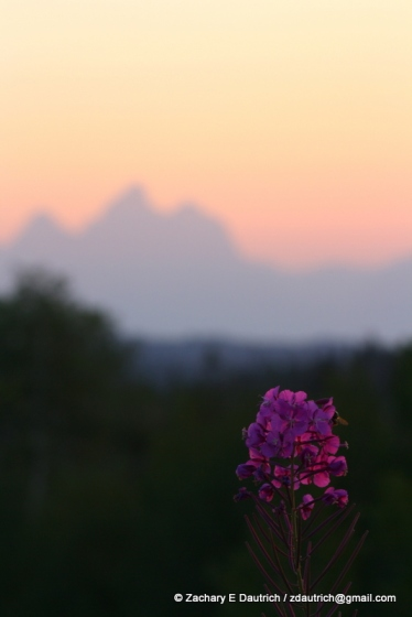 fireweed, fire sky, and the Tetons / Bridger-Teton National Forest