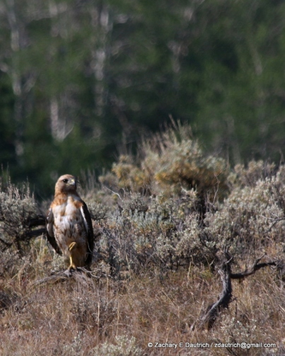red-tailed hawk 02 / Gros Ventre Wilderness