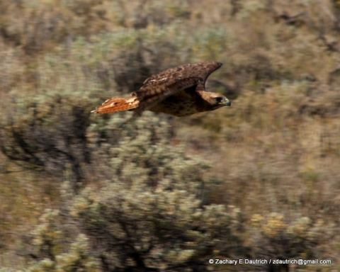 red-tailed hawk 01 / Gros Ventre Wilderness