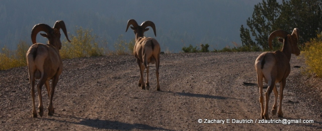 bighorn sheep / Gros Ventre Wilderness