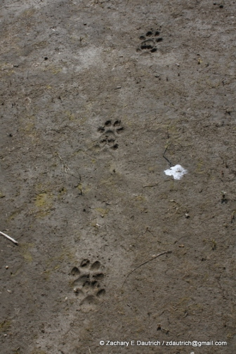 wolf tracks / Grand Teton National Park