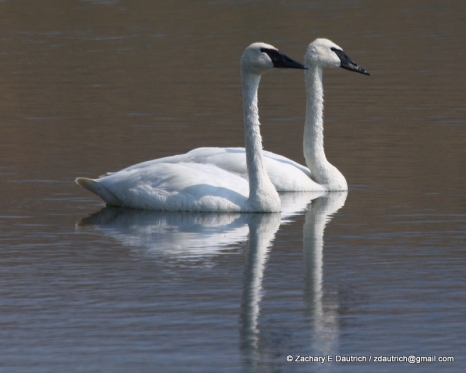 swans 01 / Grand Teton National Park WY