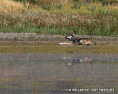 wolf on mud flats / Grand Teton National Park WY