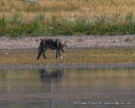 wolf scout / Grand Teton National Park WY