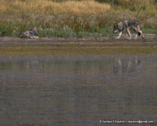 wolves / Grand Teton National Park WY