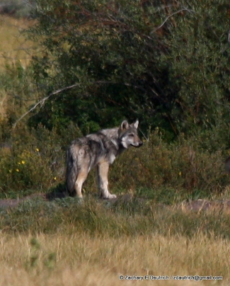 scoping wolf / Grand Teton National Park WY